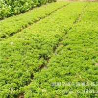 专业栽培出售多种规格优质城市美化苗木杜鹃