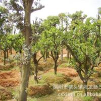 常年现货供应出售大量优质柚子树 量大价优