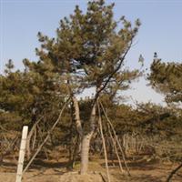 厂家常年供应绿化园林巍峨壮观的乔木油松质量可靠