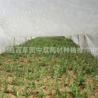 供应广东始兴优质迷迭香扦插苗 一年苗