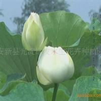 白洋淀荷花苗  荷花种苗 荷花种植