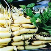 2011年荷花藕苗 【荷花种苗 荷花苗批发零售】食用观赏藕苗