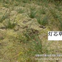 水生植物 荷花苗 芦苇苗 荷花品种  芦苇供应商