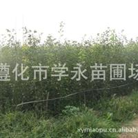直销优质规格齐价格优山楂苗山楂种子
