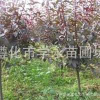 直销优质规格齐价格优美国红枫苗美国红枫种子