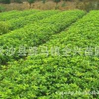 专业栽培现货直销大量工程专用苗四季桂小苗