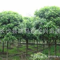 常年现货供应批发大量色泽鲜艳优质园林美化苗木八月桂花