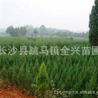 全兴苗圃长期供应批发大量成活率高优质园林绿化苗木龙柏