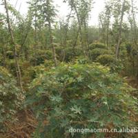 供应元宝枫 树苗批发 茂盛 景观的最好选择 价格便宜  实惠