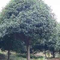 产地大量出售优质桂花树和桂花树苗