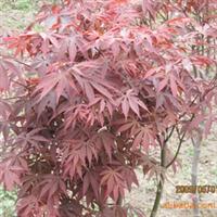 """大量出售红枫""""    外观优美,叶形优美,红色鲜艳"""