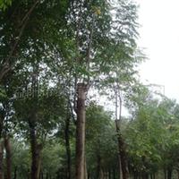 供应20公分3米定杆移植栾树