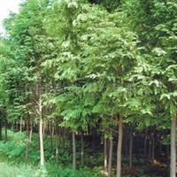 供应5-20公分全冠水杉、池杉