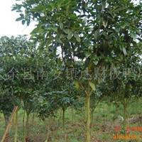 大量供应绿化苗木胸径7到8公分四季桂(702)