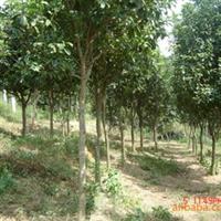 供应绿化乔木苗木四季桂7-8公分(2010001)