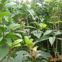 大量供应绿化苗木四季桂1-2公分(107)