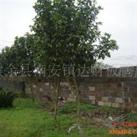 大量供应绿化苗木四季桂4-5公分(401)
