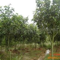 供应绿化乔木苗木四季桂4-5公分(405)