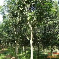 大量供应苗木四季桂7-8公分(704)
