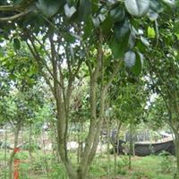 大量供应绿化乔木苗木四季桂7-8公分(705)