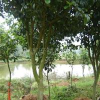 供应绿化乔木四季桂7-8公分(707)