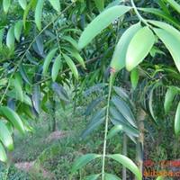 大量供应竹柏树苗(205)