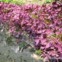 供应高档地被植物紫叶酢浆草