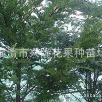 供应各种花果种苗 红豆杉种苗