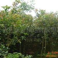 大量供应绿化苗木乔木四季桂1-2公分(101)
