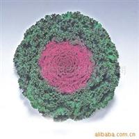 供应  质优价廉   原包装进口羽衣甘兰花卉种子(有红白两色)