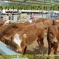安徽铜陵买肉牛犊去哪里?到博通牧业选种纯度高价格低!!
