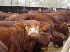 重庆梁平肉牛犊价格重庆城口肉牛犊价格--博通牧业提供肉牛价格
