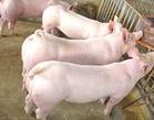 海南太湖猪价格南京黑猪价格咨询15050992391