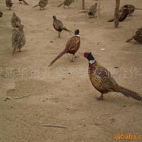 供应内蒙古鄂尔多斯野鸡,七彩山鸡