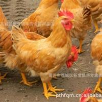 红土鸡黄三黄土鸡 黄三黄鸡苗 福建鸡苗