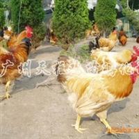 14广州鸡苗