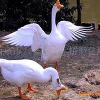 南京供应皖西白鹅苗(70天平均体重7.5斤)