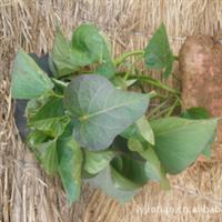 大量销售红薯苗 紫薯苗 先进农业生产基地