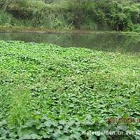 批发供应优质水生植物 价格低廉的铜钱草