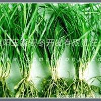 【川麦冬种苗繁育基地】麦冬种苗|川麦冬种苗|四川麦冬种苗|基地
