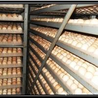 供 应 大 量 鸡 蛋、种 鸡