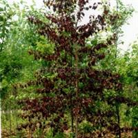 北美紫叶桦两年容器幼苗--常年紫叶--比红枫系列更胜一筹