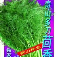 春播专用品种--奇山多刀小茴香种子