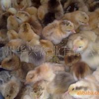 供应广州优质麻黄鸡苗
