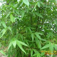 三年的麻竹,供应台湾麻竹苗、水竹苗、杂交竹苗·~~