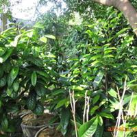 大量供应野生金花茶树