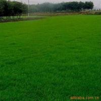 进口四季长青的草坪种子,早熟禾种子(午夜),