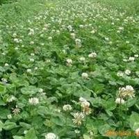 美国进口草种,庭院专用观赏草坪,白三叶种子 胡依阿