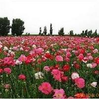 供应花卉草花种子 虞美人种子 130元/斤