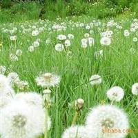 蒲公英种子 供应花卉草花种子蒲公英种子 120/斤